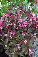 Weigela florida Minor Black shrub aka Verweig 3 in pink flowering spring bloom with dark leaves