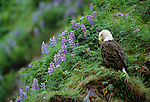 Bald eagle amid lupine on the cliffs of Unalaska Island, Alaska.