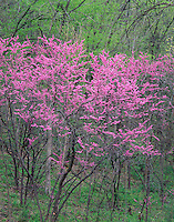 Nelson Dewey State Park, WI<br /> Flowering eastern redbud ( Cercis canadensis) blooming in a spring hardwood forest