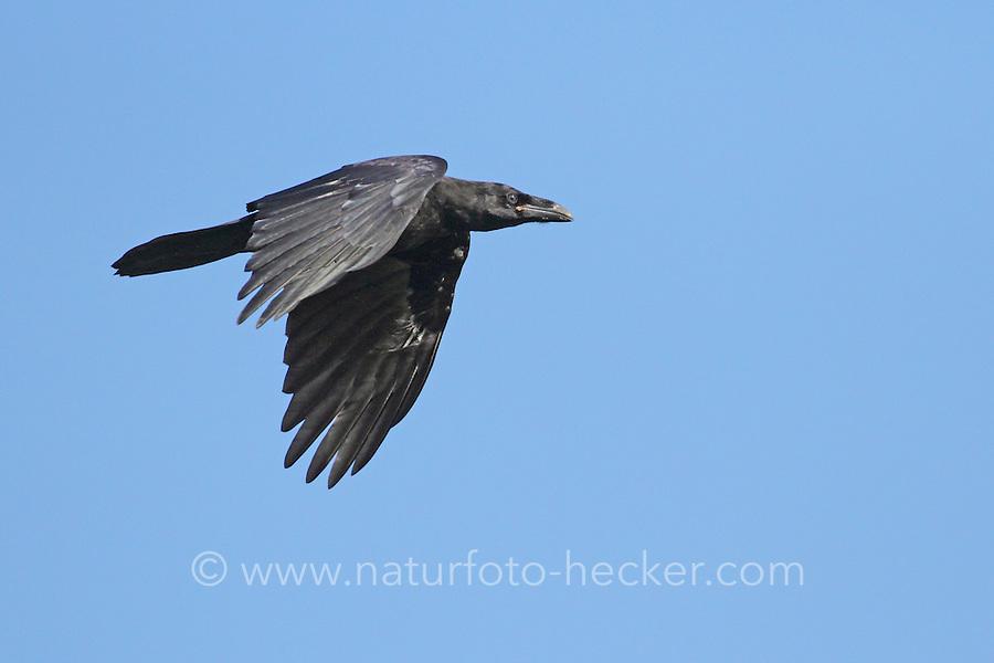 Kolkrabe im Flug, Flugbild, fliegend, Kolk-Rabe, Rabe, Corvus corax, common raven, flight