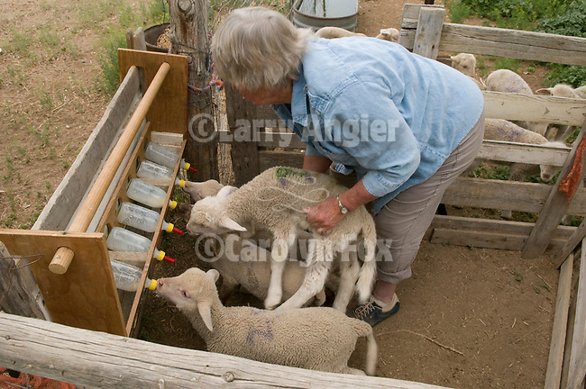 Linda Dufurrena bottle feeds the leppy (orphan) lambs at Dufurrena Ranch