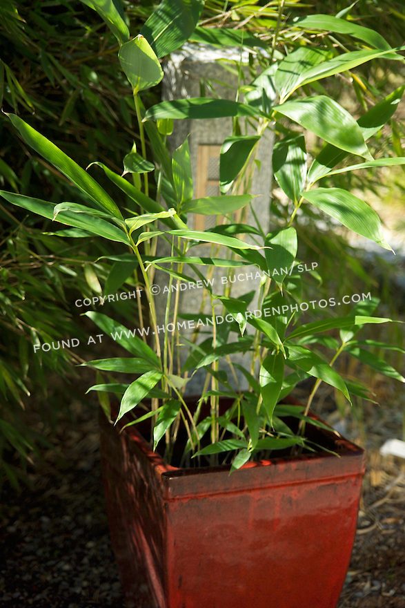 "The large-leafed Palmata bamboo, Sasa palmata nebulosa, is a clump-forming, vigorous runner of a bamboo, and is best contained in a pot above ground.  Its large, dramatic leaves may each reach 15"" on culms, or stalks, up to eight feet tall.  Palmata prefers partial to deep shade and is drought tolerant when established"