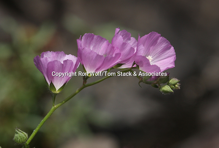 Annual Checkerbloom (Sidalcea calycosa)  a/k/a Annual Sidalcea. North Table Mountain. Near Oroville, Butte Co., Calif.