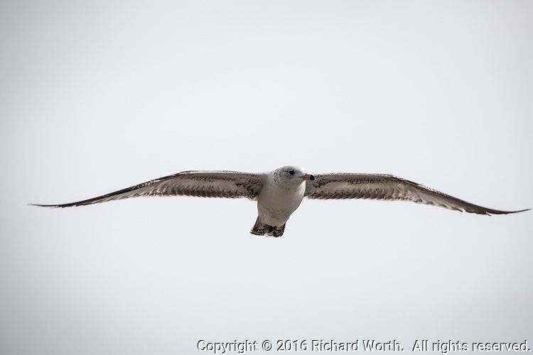With wings spread wide, a gull flies by, eyeing the surroundings along San Francisco Bay.