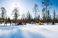 """Solberget, Jokkmokk, Swedish Lapland, Sweden, March 2013. Reindeer sledding is the traditional Sami way of transportation. Dirk and Silke Hagenbusch live their lives in a wilderness retreat  called 'Solberget'. It is situated directly on the Arctic Circle, near the nature reserves """"Granlandet"""", """"Päivavuoma"""" and """"Pellokiellas"""", and close to the """"Muddus"""" National Park. Here, nature can be experienced in its purest form – far away from civilisation. As an authentic wilderness farm, Solberget is neither connected to public electricity nor to the mains water supply. Water comes from a spring in the woods and is delicious! Oil lamps and the natural warmth of wood burning stoves provides a soft and cosy atmosphere, even with biting frost outside. Photo by Frits Meyst/Adventure4ever.com"""