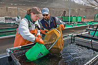 Technician Renee Pszyk and assistant hatchery manager Denny Patnode at the Gulkana hatchery load salmon fry to be transferred to the crop duster airplane which will drop them in a nearby lake.
