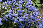 CONCHA CALIFORNIA LILAC, CEANOTHUS `CONCHA', SHRUB IN FLOWER