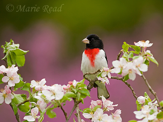 Rose-breasted Grosbeak (Pheucticus ludovicianus), male perched amid apple blossom, New York, USA