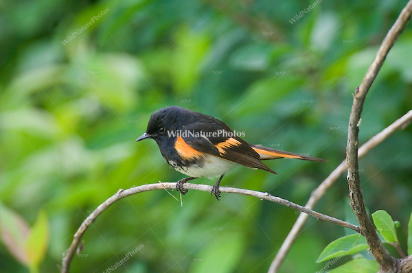 American Redstart (Setophaga ruticilla), perched, Michigan