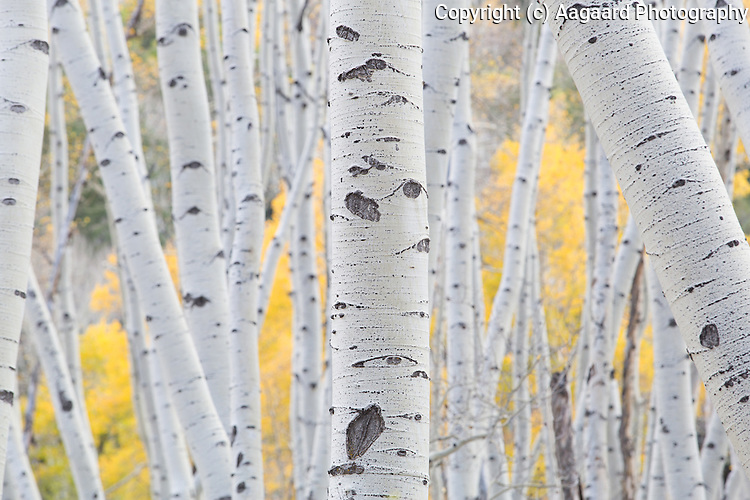 This is one of my favorite stands of aspens in the entire state.  Every time I visit it, I see a different image.