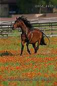 Bob, ANIMALS, REALISTISCHE TIERE, ANIMALES REALISTICOS, horses, photos+++++,GBLA4405,#a#, EVERYDAY