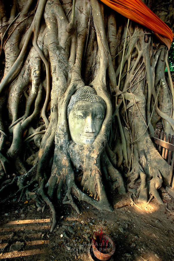 Buddha statue head grown over and covered with Banyan tree roots and limbs, Ayuthaya, Thailand