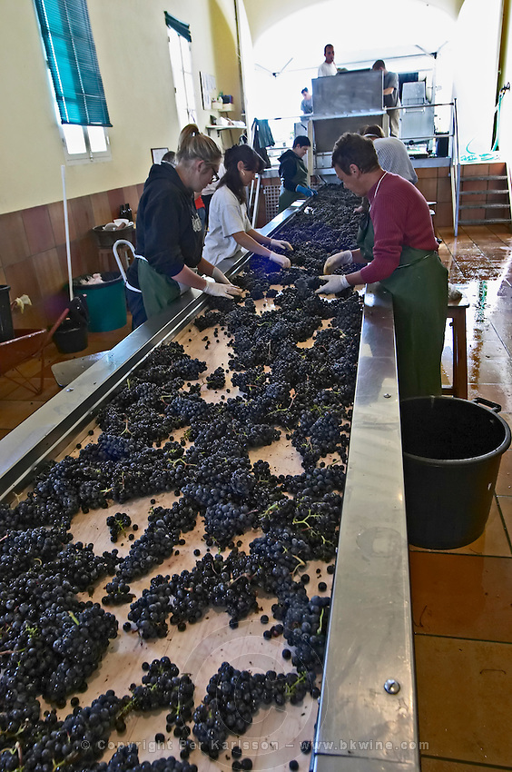 merlot grape sorting table chateau phelan segur st estephe medoc bordeaux france