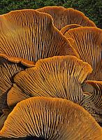 Western Jack O'Lantern Mushrooms (Omphalotus olivascens). Wunderlich County Park. Woodside, San Mateo Co., Calif.