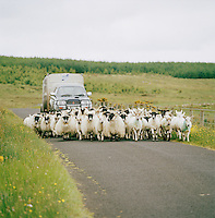 Flock of sheep being herded in Connemara, Ireland