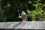 """Pictured: A young peregrine falcon looks like it is waving to the camera as it raises its claw.   The rare photographs of the juvenile bird holding up its claw were taken on its first ever journey out of its nest.<br /> <br /> Primary school teacher Dave Gibson, who took the images at St Chad's Church in Kirkby, Liverpool, said it seemed as if the two-month-old peregrine was a pupil wanting to ask him a question.   Mr Gibson, 43, from Skelmersdale, Lancs, said: """"The bird jumped onto this wall, which was about 5ft high. It wasn't put off much by my presence.   SEE OUR COPY FOR DETAILS<br /> <br /> Please byline: Dave Gibson/Solent News<br /> <br /> © Dave Gibson/Solent News & Photo Agency<br /> UK +44 (0) 2380 458800"""