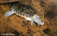 0115-0903  Diamondback Terrapin Swimming Underwater, Malaclemys terrapin  © David Kuhn/Dwight Kuhn Photography.