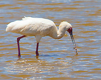 African spoonbill (Platalea alba), Soysambu Conservancy, Great Rift Valley, Kenya.  Photographed beside Lake Elmenteita.  This spoonbill has a small fish in its beak.