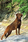 Chessapeake Bay Retriever<br />