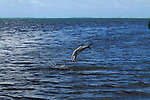 TARPON JUMPING OUT OF THE WATER TRYING TO ESCAPE FLY FISHERMAN IN LOS ROQUES