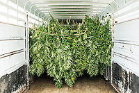 Rows of industrial grade hemp await travel to a drying facility after being harvested from an outdoor farm near Wray, Colorado, Monday, September 22, 2014. The Stanley Brothers have developed a popular strain of marijuana that has been found to be helpful in reducing seizures. The marijuana high in CBDs and low in THC, the chemical which gets a person stoned.<br /> <br /> Photo by Matt Nager