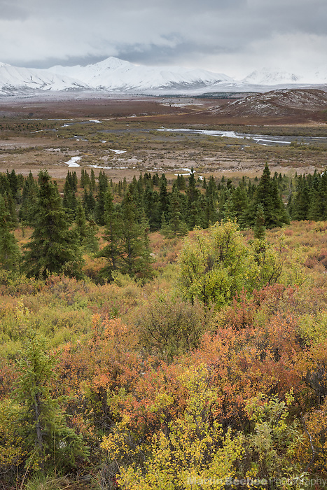 Fall colors above the Savage River valley, with the snowy Alaska Range in the background, Denali National Park, Alaska