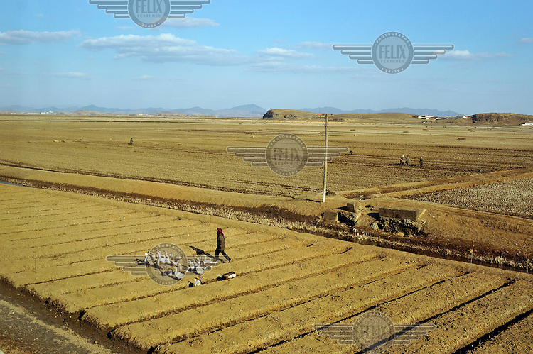 A woman walks across a field accompanied by a flock of geese, as seen from a train travelling from the Chinese border to Pyongyang.