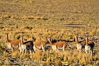 Vicuñas (Vicugna vicugna) in the Central Andean Puna, a high-elevation montane ichu grassland, Pampa Galeras National Reserve, Ayacucho, Peru.