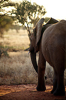 African elephant in Tsavo National Park.