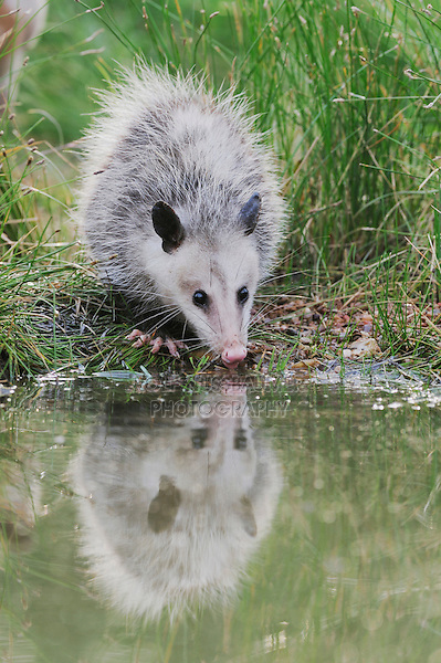 Virginia Opossum (Didelphis virginiana), young drinking from wetland lake, Refugio, Coastel Bend, Texas, USA