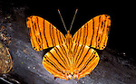 Common Maplet Butterfly, Chersonesia risa, resting with wings open orange colours with bands stripes.Thailand....