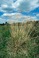 TUFTED HAIR-GRASS Deschampsia cespitosa Height to 1.5m<br /> Tufted, clump-forming perennial of damp grassland, woodland rides and marshes. FLOWERS are borne in a long-stemmed inflorescence comprising spreading clusters of 2-flowered, silvery purple spikelets (Jun-Jul). FRUITS are small, dry nutlets. LEAVES are dark green, wiry and narrow with rough edges. STATUS-Widespread and common.