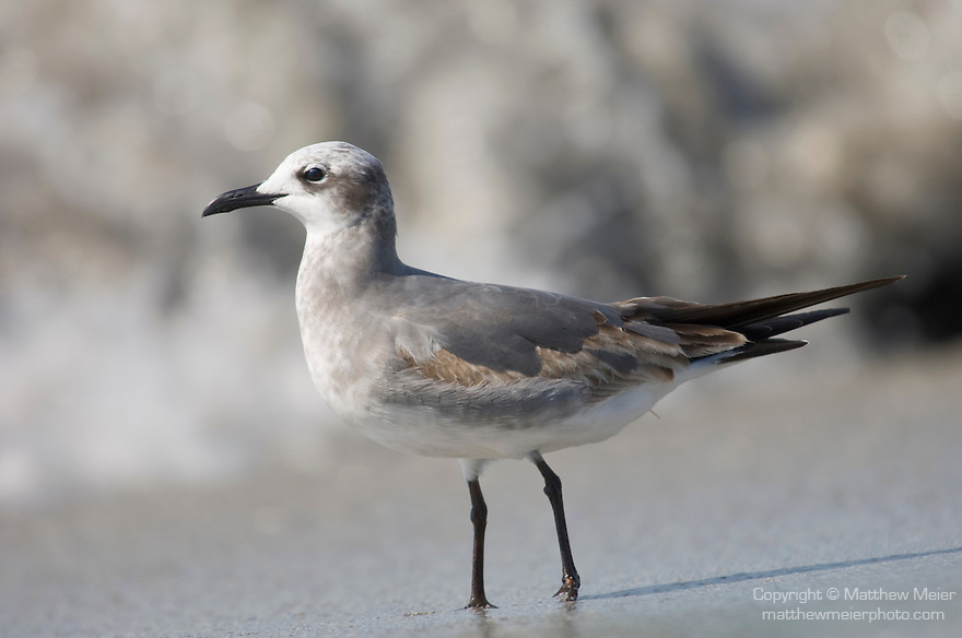 Captiva Island, Florida; a Laughing gull (Larus atricilla) bird, second year immature, walking in the surf and the sand © Matthew Meier Photography, matthewmeierphoto.com All Rights Reserved