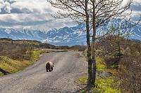 Grizzly bear walks along the Denali National park road, Alaska.