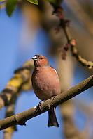 Männchen, Fringilla coelebs, Chaffinch, Pinson des arbres