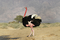 Ostrich - Struthio camelus camelus<br /> red-necked subspecies