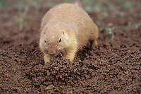Black-tailed Prairie Dog (Cynomys ludovicianus) pushing dirt into burrow entrance to seal it off (close burrow) in late summer.   See photos # Mi638, 698, 699, 701, 708, 710, 711, 715. 716b--all part of this series.