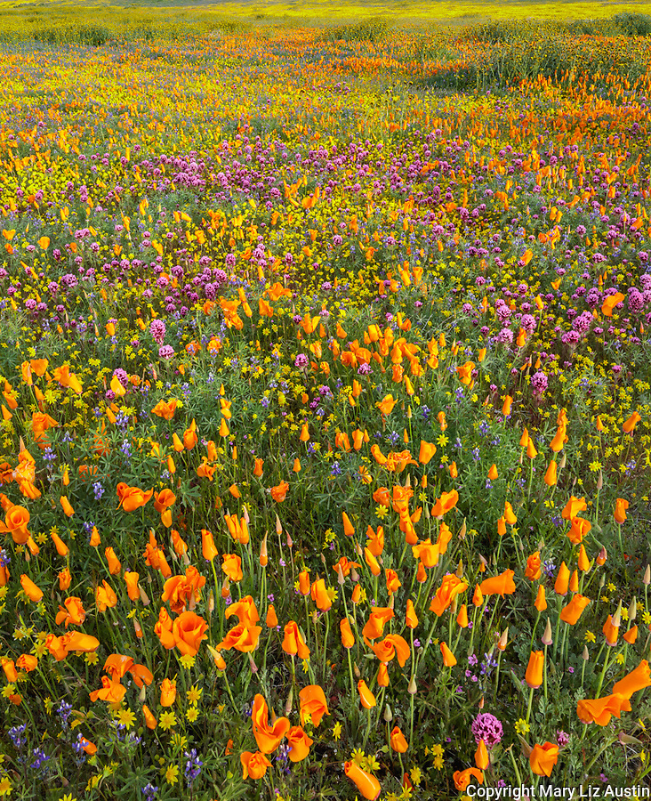 Antelope Valley, California: California Poppies, Owl's Clover and California Coreopsis blooming in fields near Lancaster, Los Angeles County, Mojave Desert