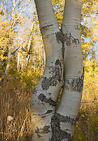 Quaking aspen, Populus tremuloides, near Carson Pass, Sierra Nevada Mountains, California