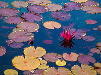 A single red water lily flower surrounded by colorful lily pads, Waikoloa, Big Island.
