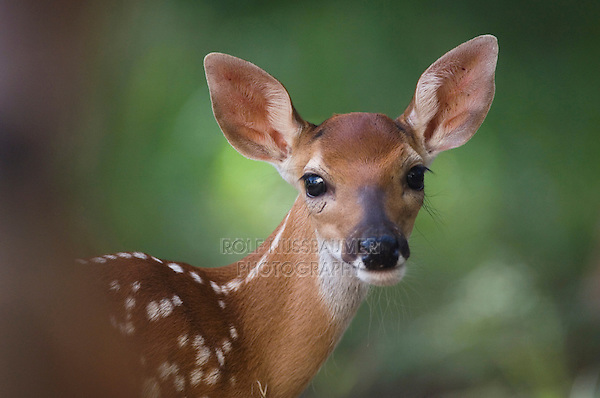 White-tailed Deer, Odocoileus virginianus, young fawn, Comal County, Hill Country, Texas, USA