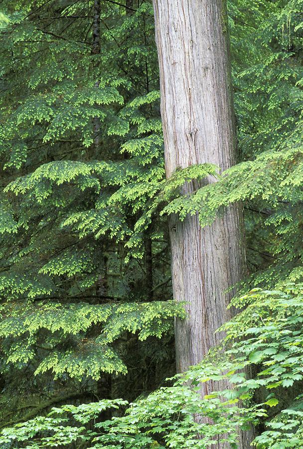Cedar tree, Cascade Mountains, Washington
