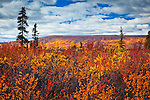 Bright fall colored tundra under blue sky with clouds, Eureka, Southcentral Alaska, Autumn.