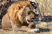 Africa, Zambia, South Luangwa National Park,   lion male licking its paw