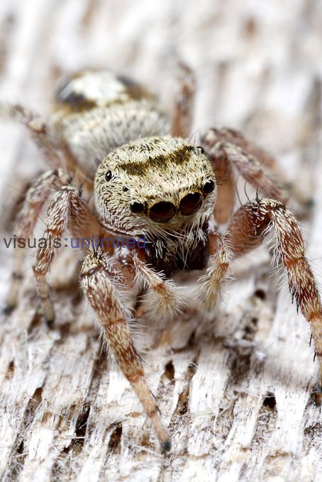 Jumping Spider (Thiodina)