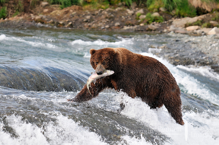 A brown bear successfully catches a salmon at the McNeil River Falls,  in Alaska's McNeil River State Game Sanctuary.