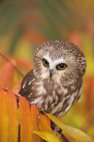 Northern Saw-whet Owl (Aegolius acadicus), adult with fall colors, Colorado, USA