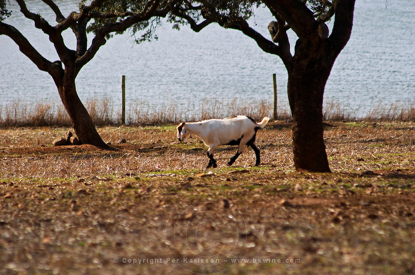 Dry, barren fields with oak trees. Goat grazing. Herdade da Malhadinha Nova, Alentejo, Portugal