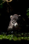 The White-nosed Coati (Nasua narica) Costa Rica.