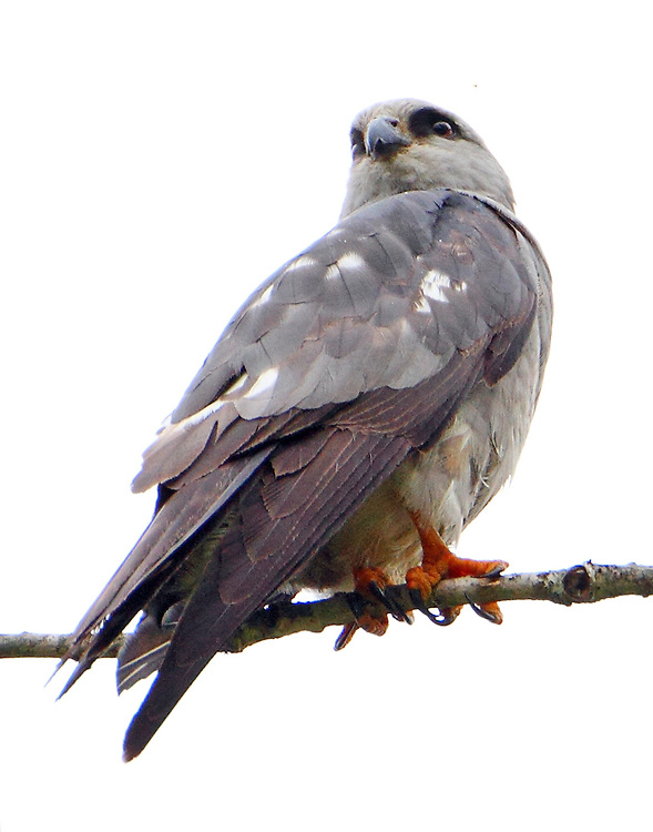 Mississippi kite, young bird